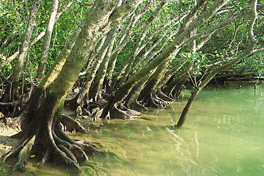 汽水域に育つマングローブとその板根