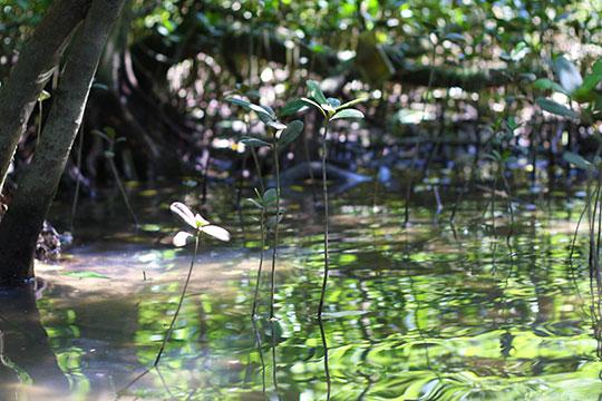 汽水域に育つマングローブの幼木