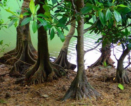 マングローブの根っこ