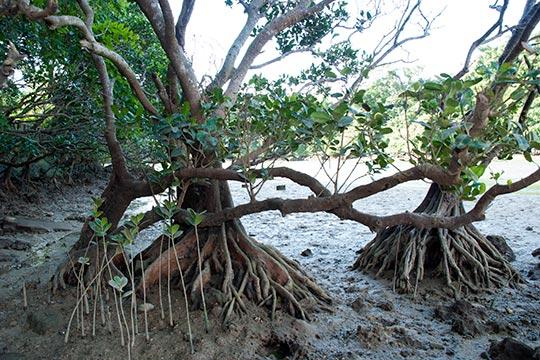 マングローブの板根