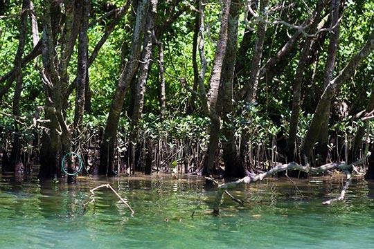汽水域に育つマングローブ