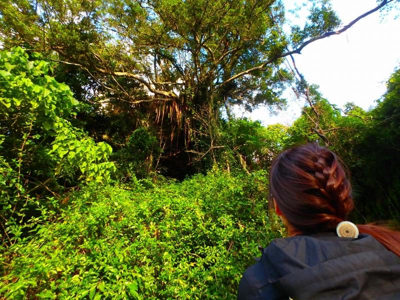 見上げるガジュマルの木
