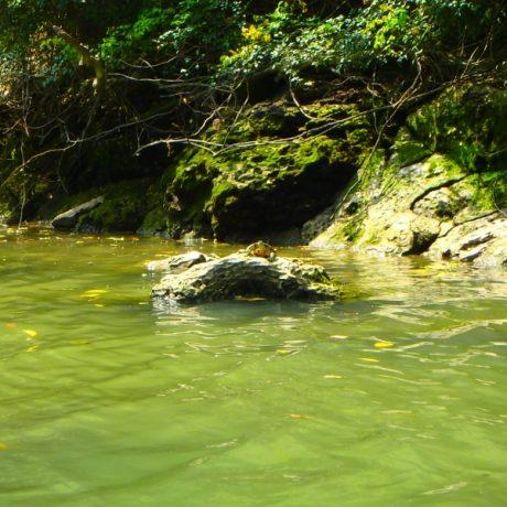 比謝川にはカメにいる?