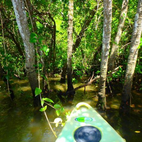 マングローブの木々