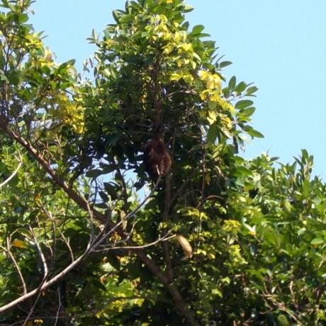 クビワオオコウモリ
