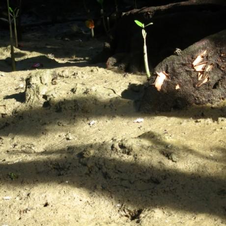 マングローブの生き物