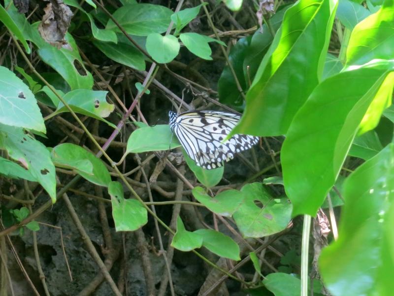 蝶の貴婦人